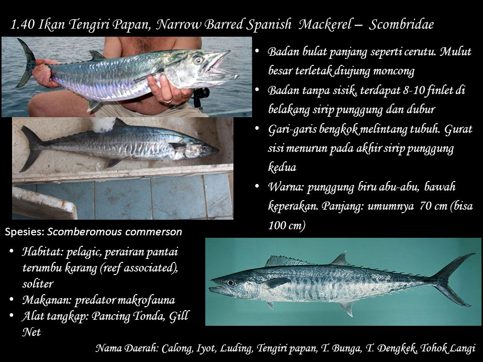 1.40 Ikan Tengiri Papan, Narrow Barred Spanish Mackerel – Scombridae