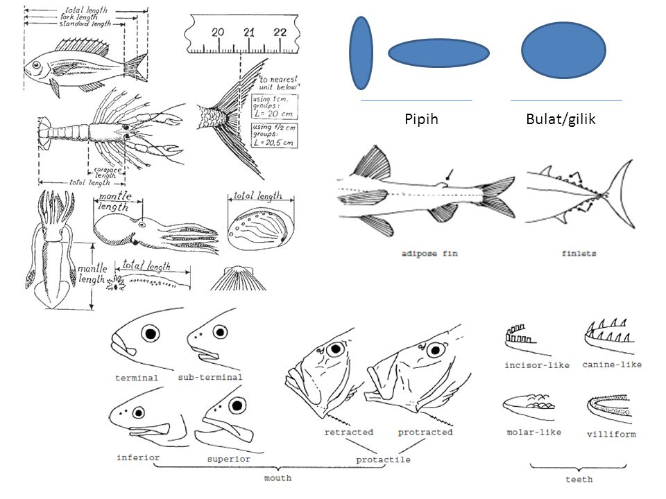 Pipih Bulat/gilik SLIDE 4: Definisi / Terminologi
