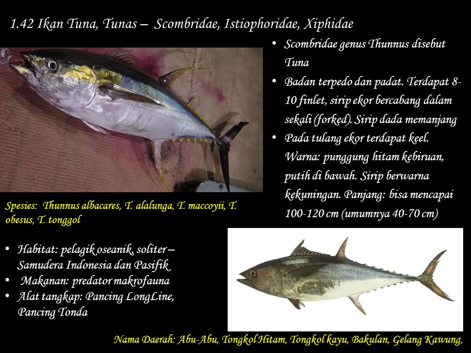 1.42 Ikan Tuna, Tunas – Scombridae, Istiophoridae, Xiphidae