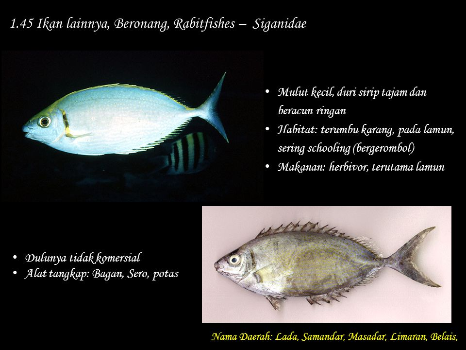 1.45 Ikan lainnya, Beronang, Rabitfishes – Siganidae