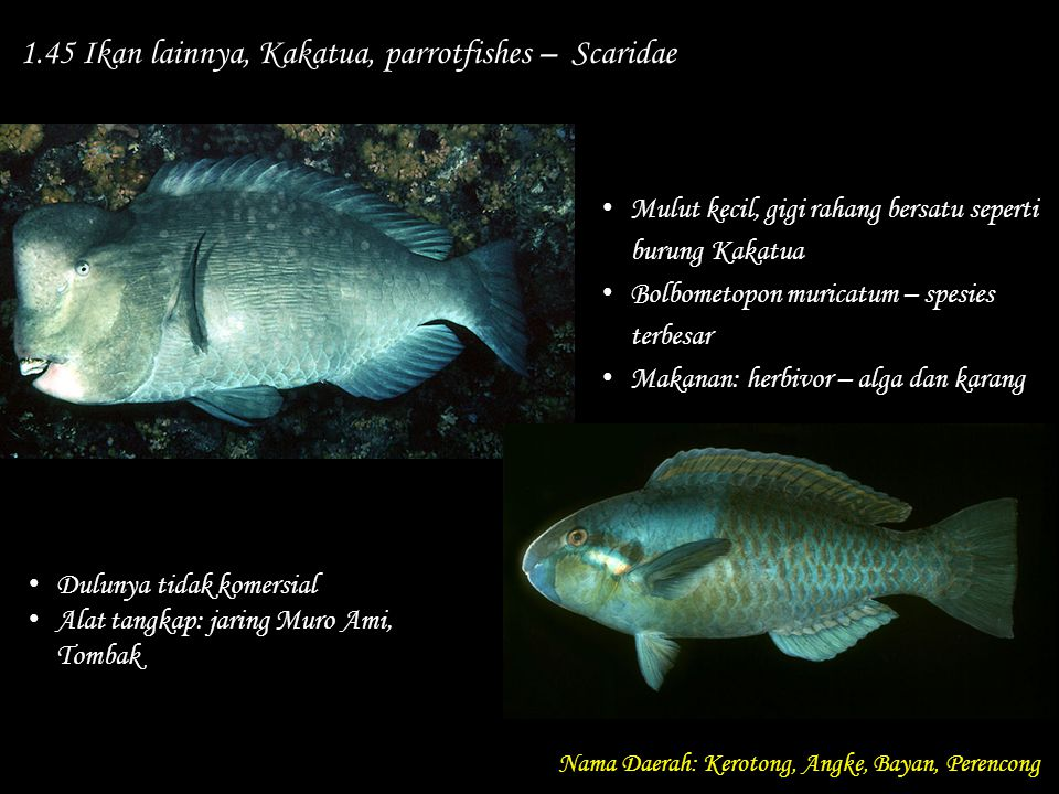 1.45 Ikan lainnya, Kakatua, parrotfishes – Scaridae