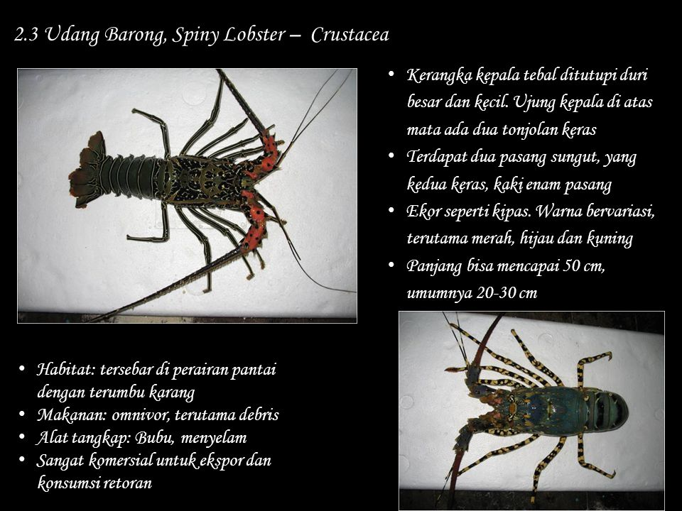 2.3 Udang Barong, Spiny Lobster – Crustacea