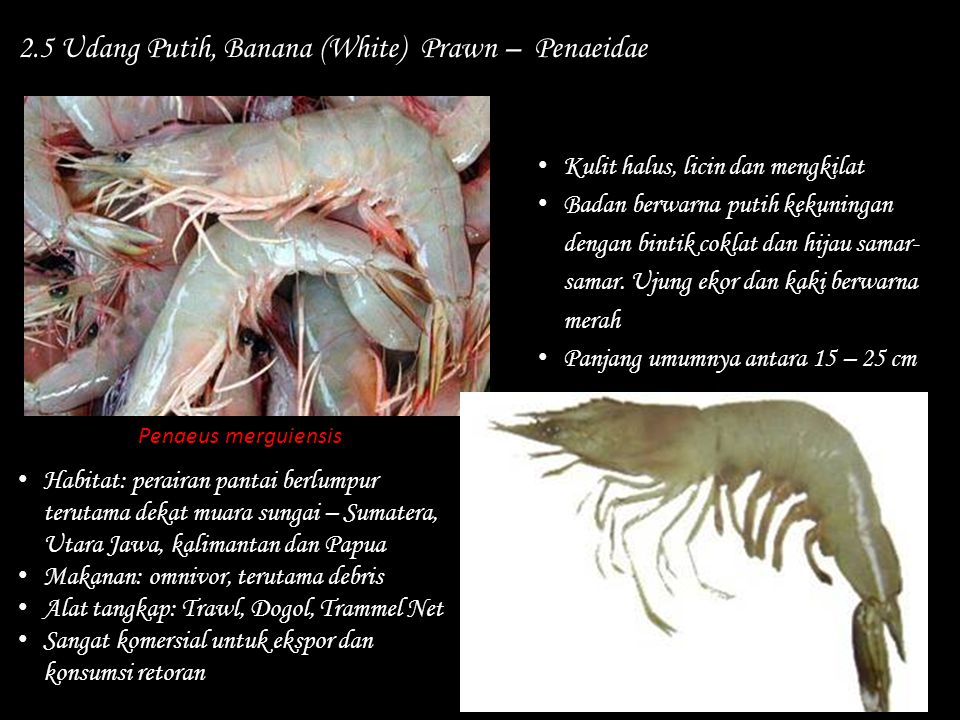 2.5 Udang Putih, Banana (White) Prawn – Penaeidae