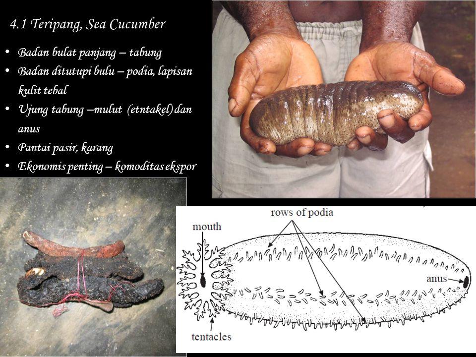 4.1 Teripang, Sea Cucumber Badan bulat panjang – tabung