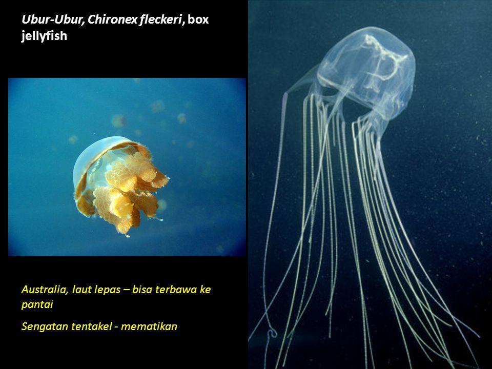 Ubur-Ubur, Chironex fleckeri, box jellyfish