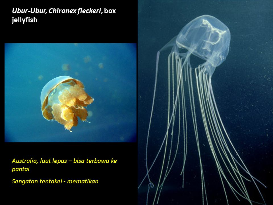 Australian box jellyfish facts