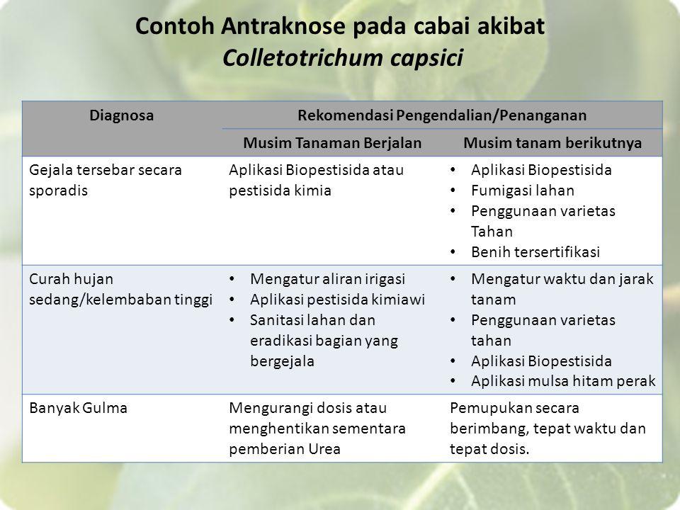 Contoh Antraknose pada cabai akibat Colletotrichum capsici