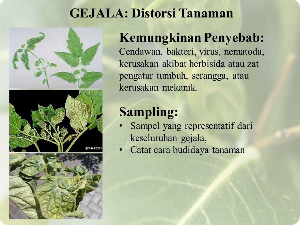 GEJALA: Distorsi Tanaman