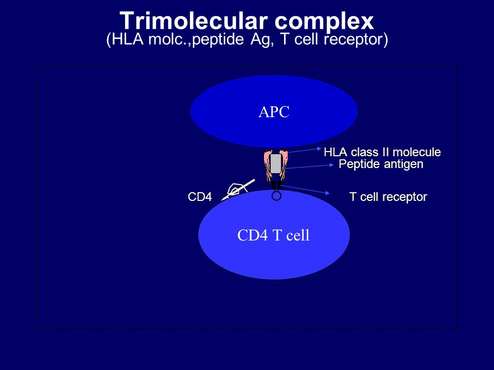 Trimolecular complex (HLA molc.,peptide Ag, T cell receptor)