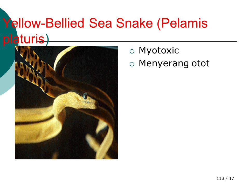 Yellow-Bellied Sea Snake (Pelamis platuris)