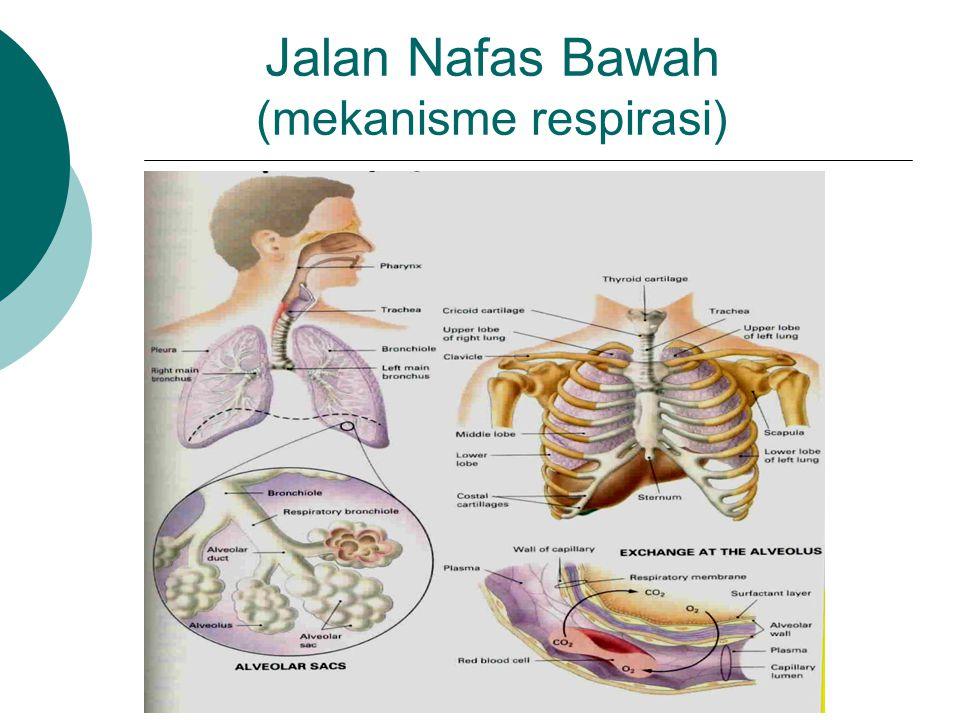 Jalan Nafas Bawah (mekanisme respirasi)
