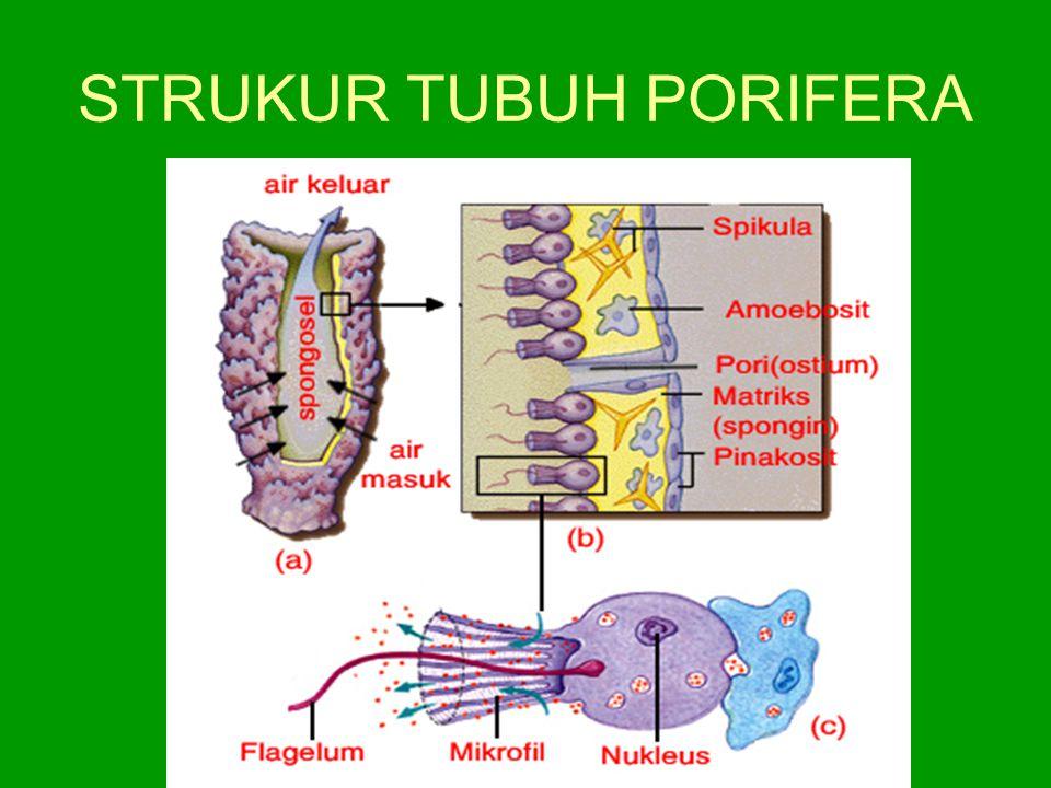 STRUKUR TUBUH PORIFERA
