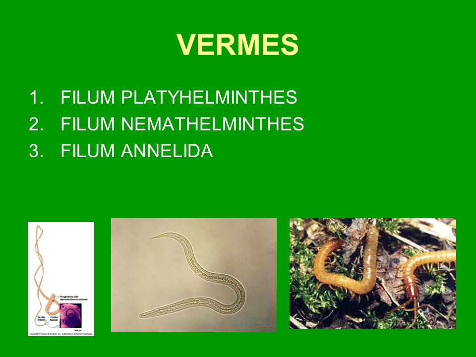 VERMES FILUM PLATYHELMINTHES FILUM NEMATHELMINTHES FILUM ANNELIDA