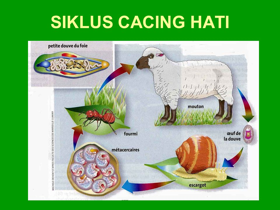 SIKLUS CACING HATI