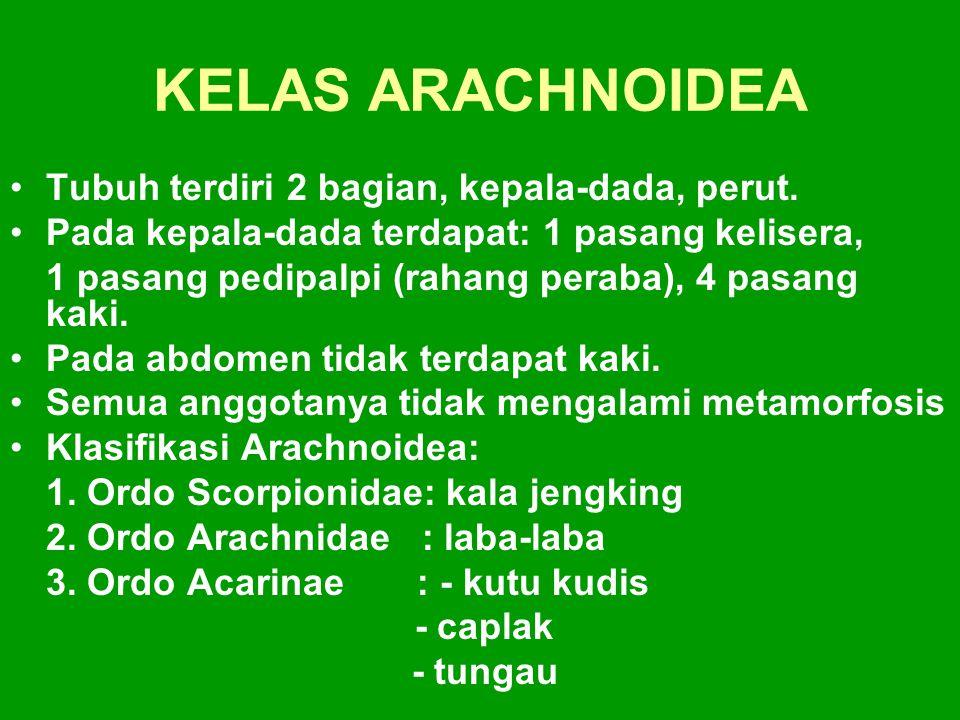 KELAS ARACHNOIDEA Tubuh terdiri 2 bagian, kepala-dada, perut.