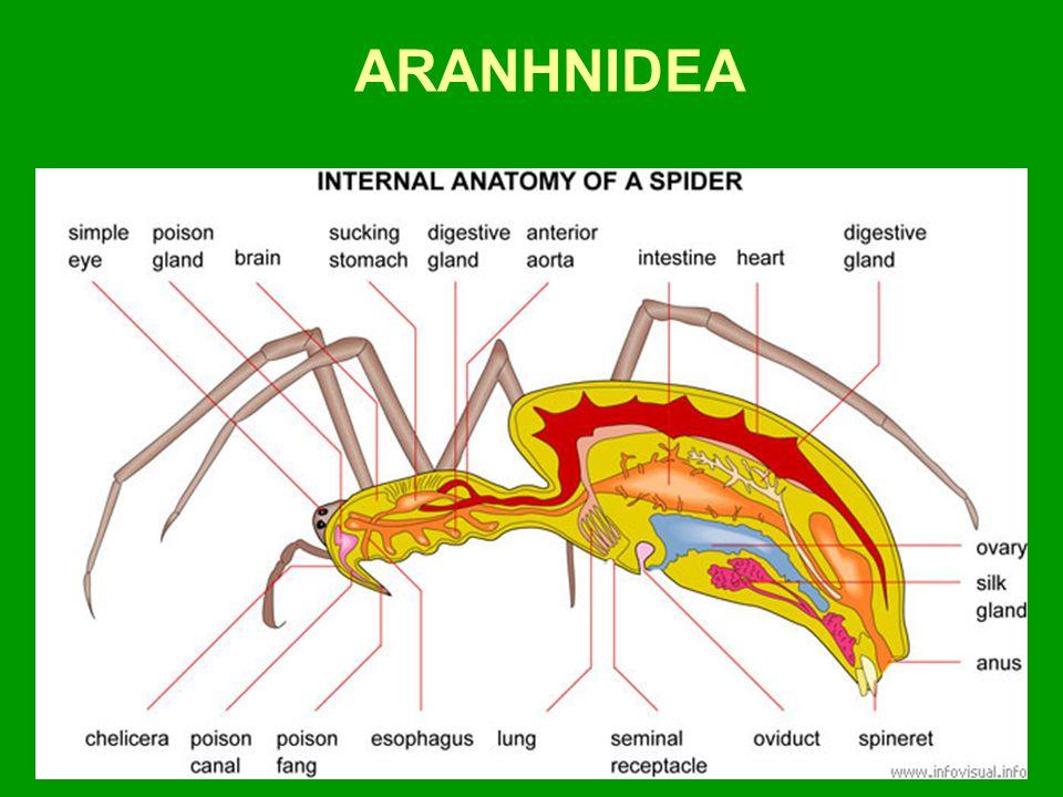 ARANHNIDEA