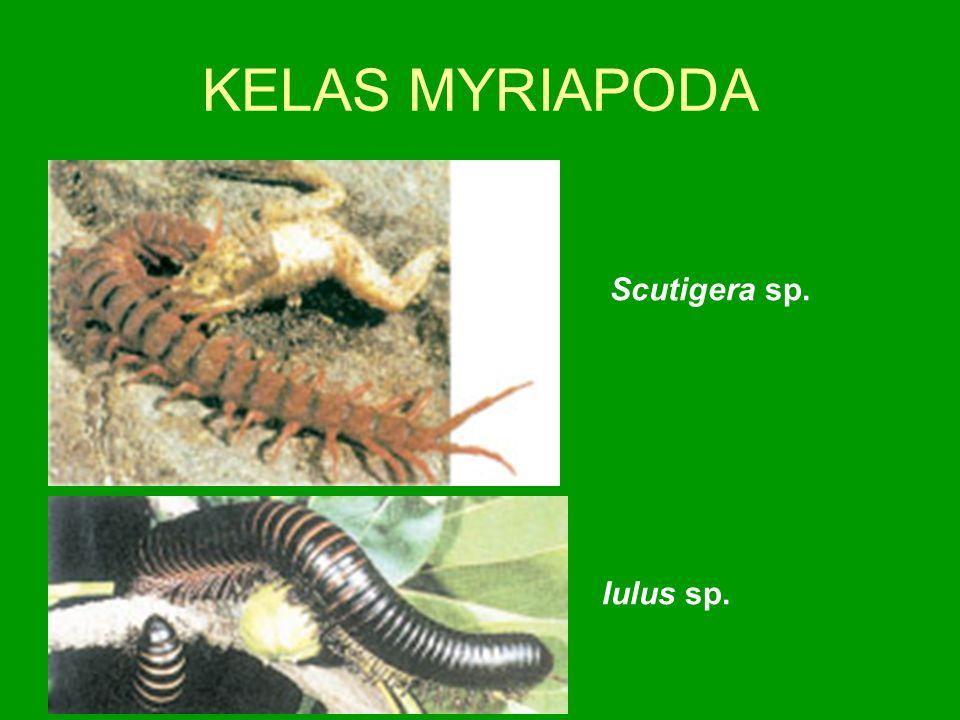 KELAS MYRIAPODA Scutigera sp. Iulus sp.