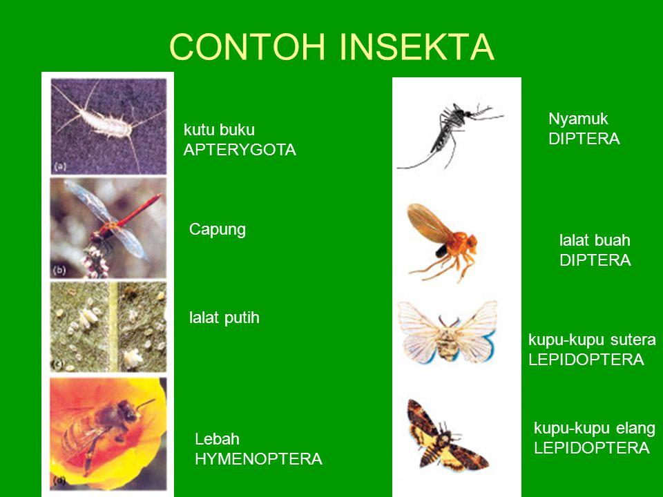 CONTOH INSEKTA Nyamuk kutu buku DIPTERA APTERYGOTA Capung lalat buah