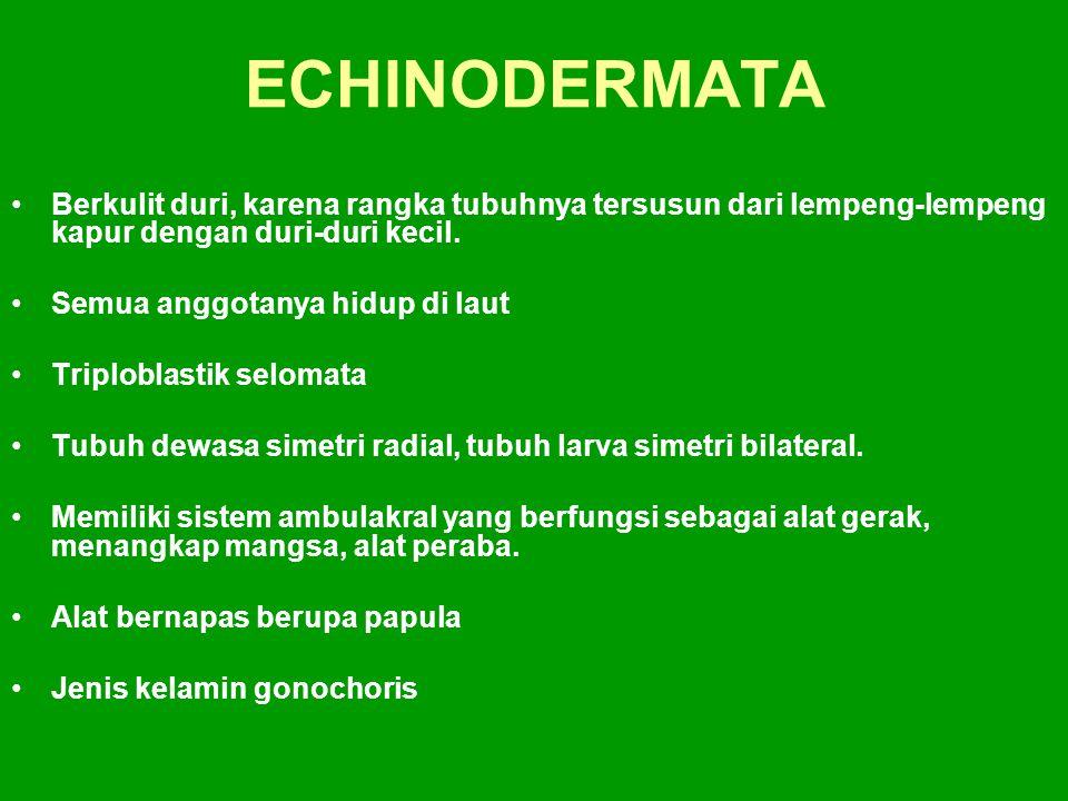 ECHINODERMATA Berkulit duri, karena rangka tubuhnya tersusun dari lempeng-lempeng kapur dengan duri-duri kecil.