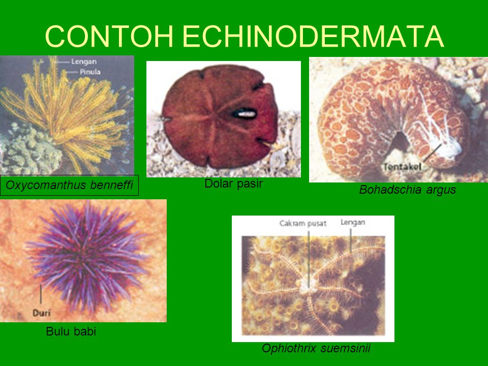 CONTOH ECHINODERMATA Dolar pasir Oxycomanthus benneffi