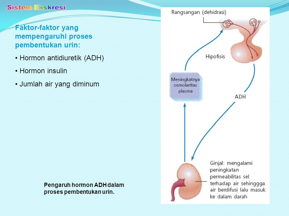 Sistem Ekskresi Faktor-faktor yang mempengaruhi proses pembentukan urin: Hormon antidiuretik (ADH)