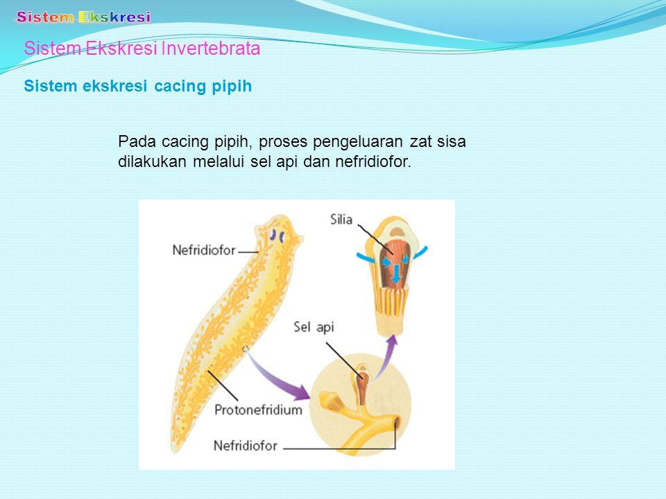 Sistem Ekskresi Invertebrata