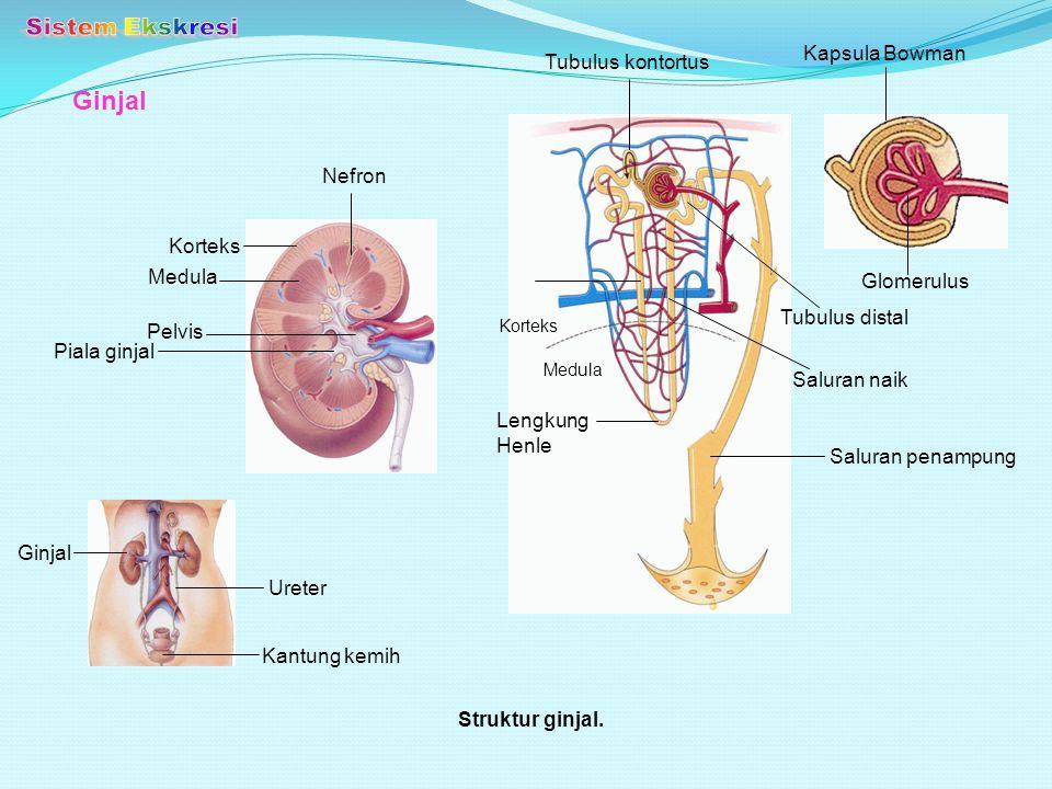 Sistem Ekskresi Ginjal Kapsula Bowman Tubulus kontortus Nefron Korteks