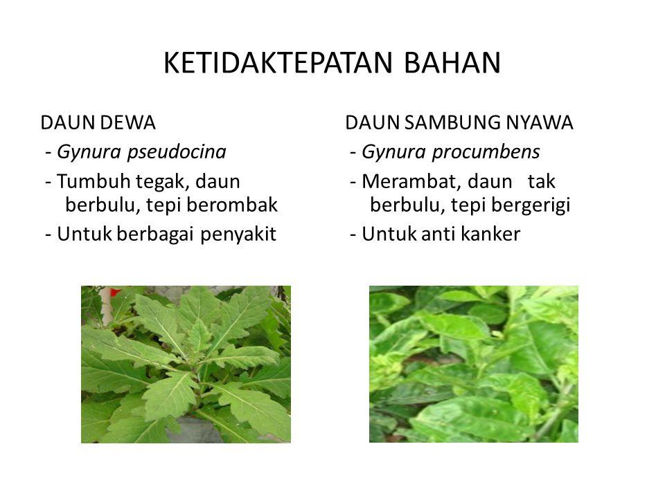 KETIDAKTEPATAN BAHAN DAUN DEWA - Gynura pseudocina - Tumbuh tegak, daun berbulu, tepi berombak - Untuk berbagai penyakit