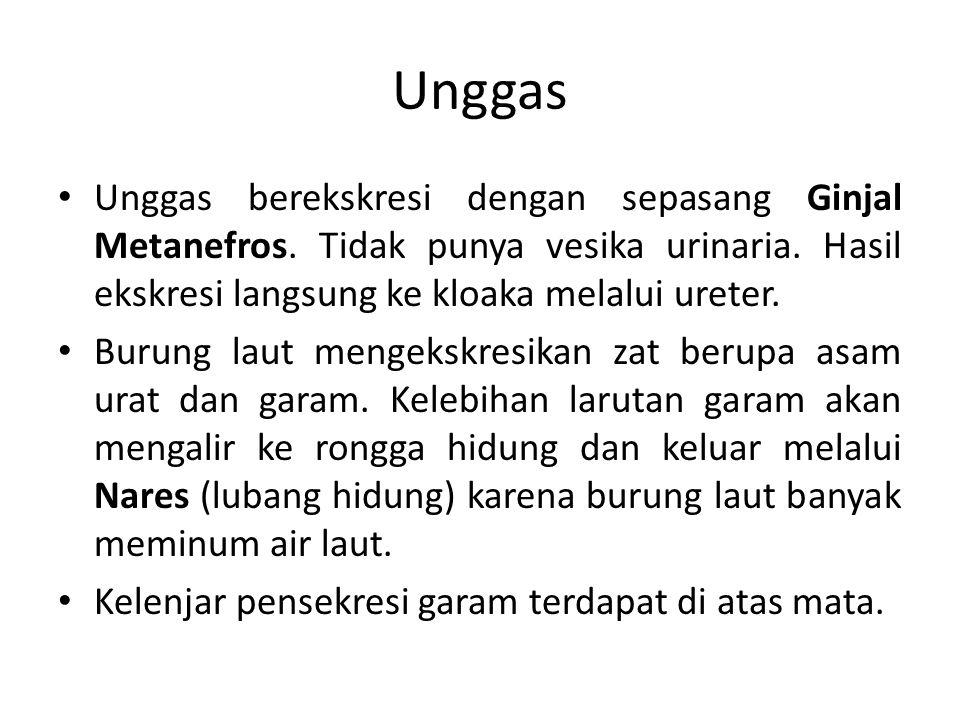 Unggas Unggas berekskresi dengan sepasang Ginjal Metanefros. Tidak punya vesika urinaria. Hasil ekskresi langsung ke kloaka melalui ureter.