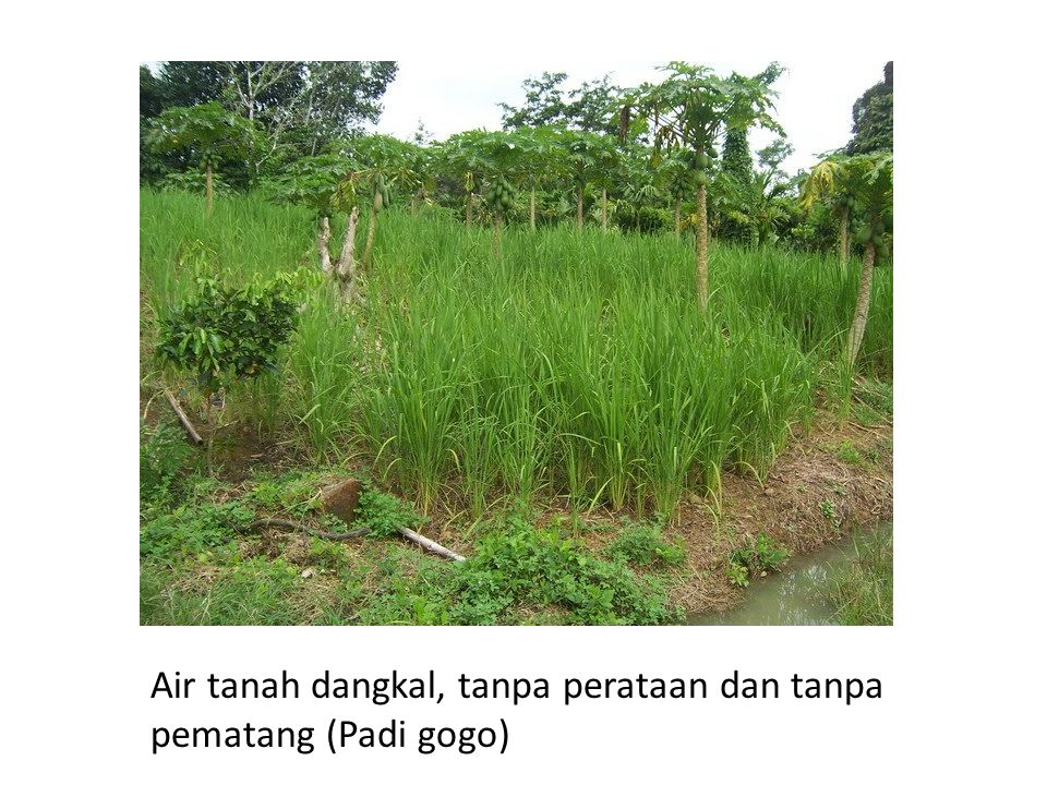 Air tanah dangkal, tanpa perataan dan tanpa pematang (Padi gogo)