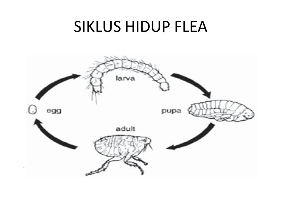 SIKLUS HIDUP FLEA