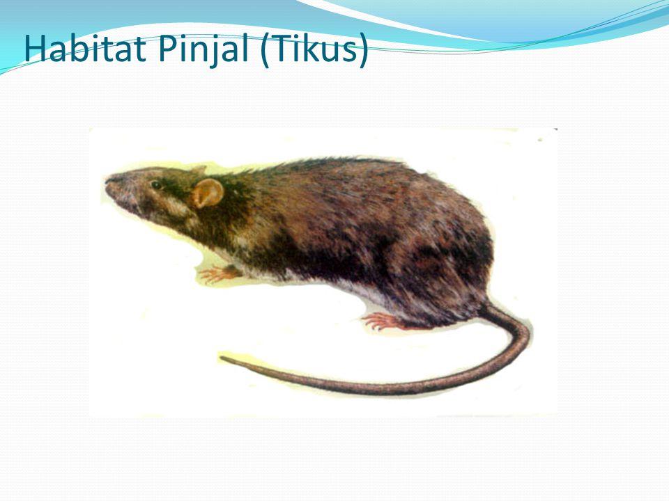 Habitat Pinjal (Tikus)