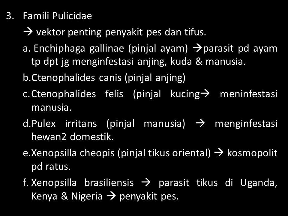 Famili Pulicidae  vektor penting penyakit pes dan tifus.