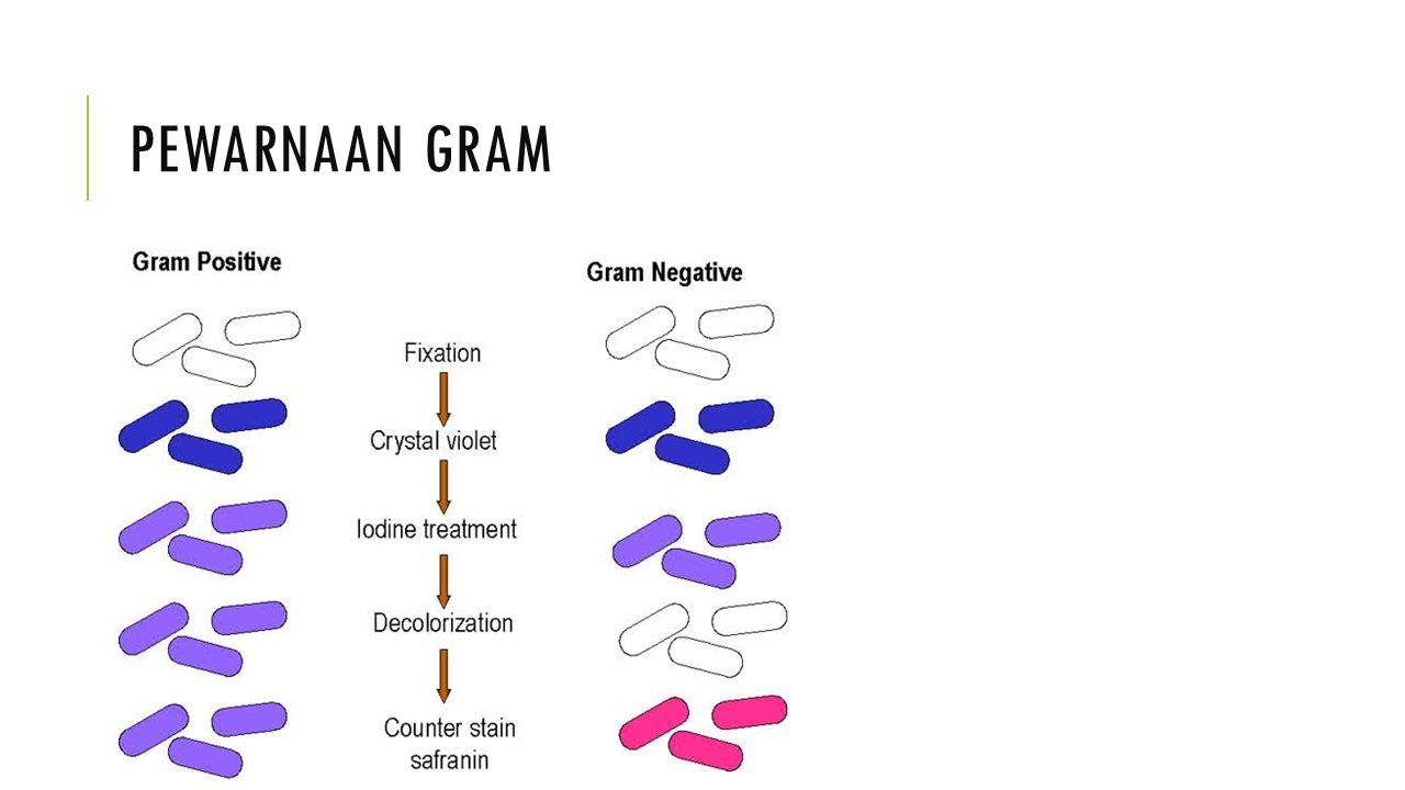Pewarnaan gram