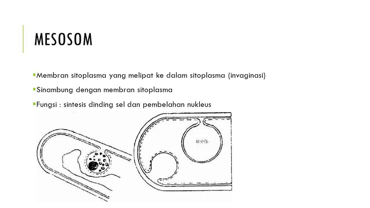 mesosom Membran sitoplasma yang melipat ke dalam sitoplasma (invaginasi) Sinambung dengan membran sitoplasma.