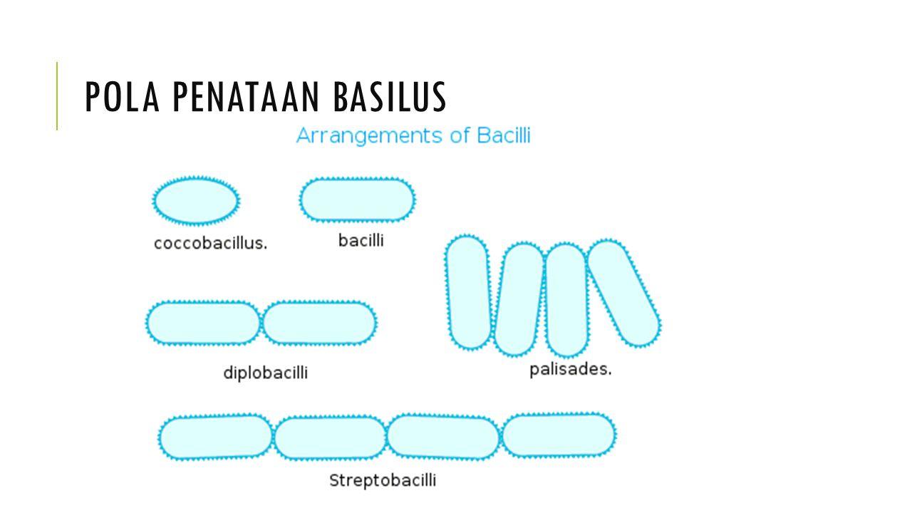 Pola penataan basilus