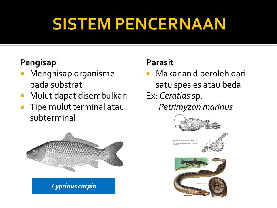 SISTEM PENCERNAAN Pengisap Menghisap organisme pada substrat