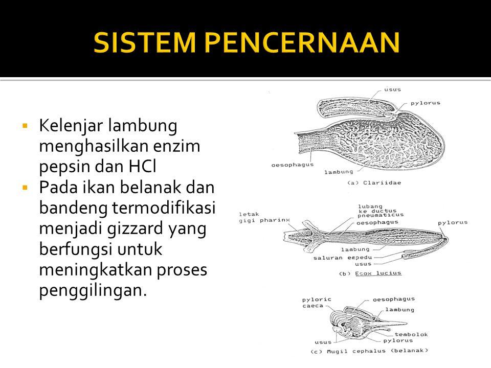 SISTEM PENCERNAAN Kelenjar lambung menghasilkan enzim pepsin dan HCl