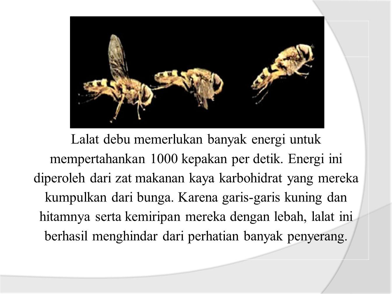 Lalat debu memerlukan banyak energi untuk mempertahankan 1000 kepakan per detik.