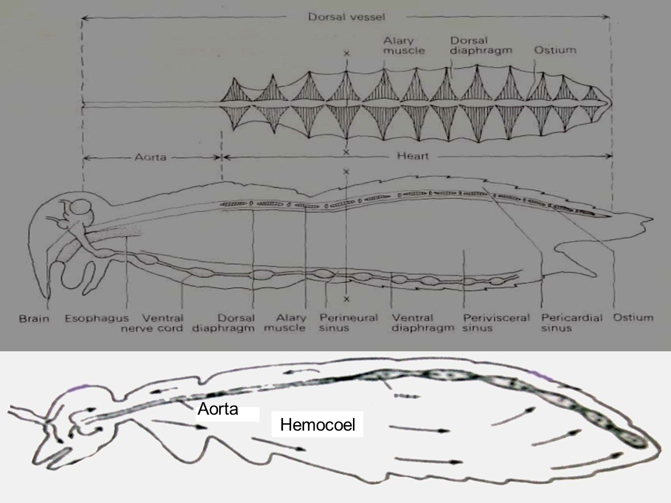 Aorta Hemocoel