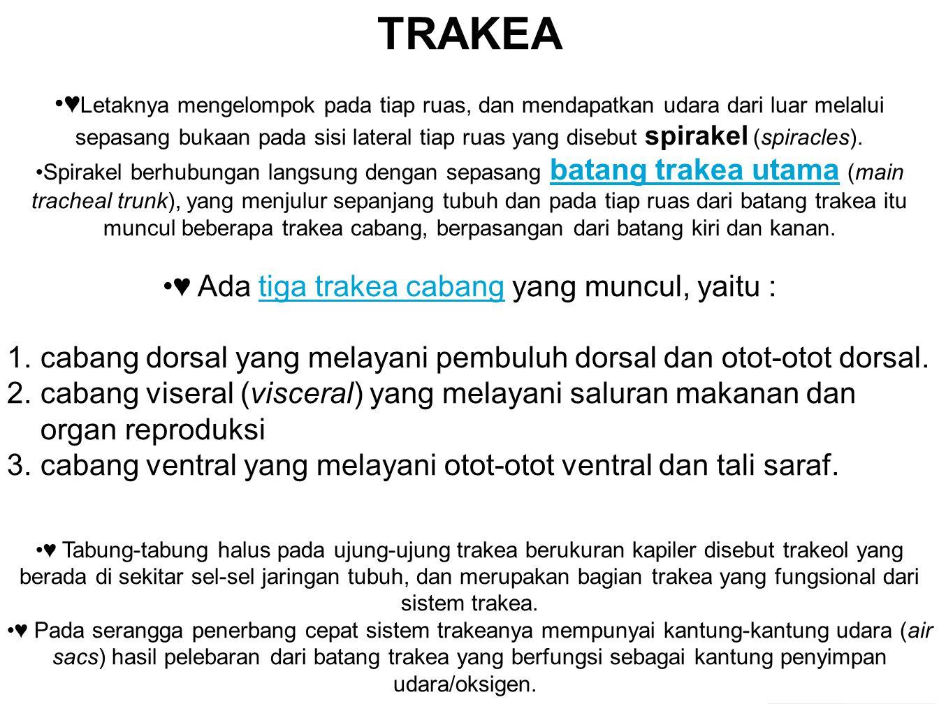 ♥ Ada tiga trakea cabang yang muncul, yaitu :