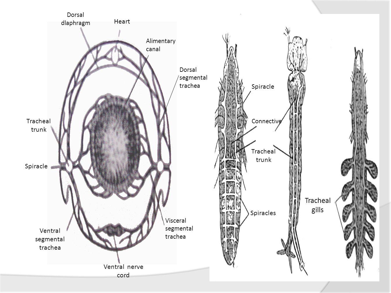 Ventral segmental trachea