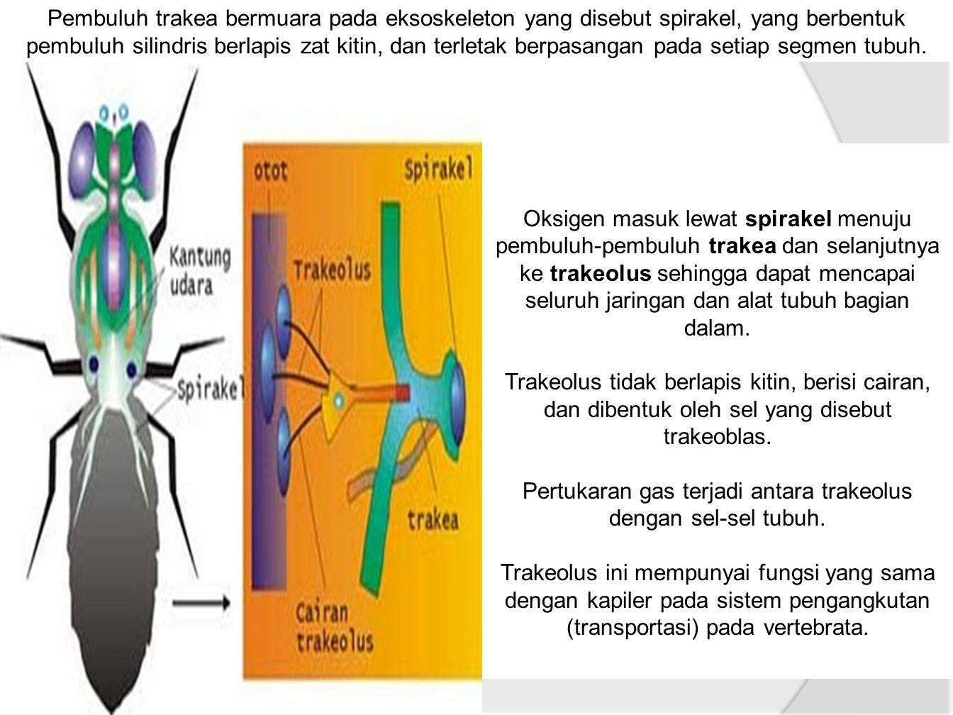 Pertukaran gas terjadi antara trakeolus dengan sel-sel tubuh.