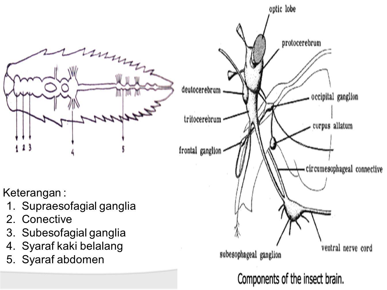 Keterangan : Supraesofagial ganglia. Conective. Subesofagial ganglia.