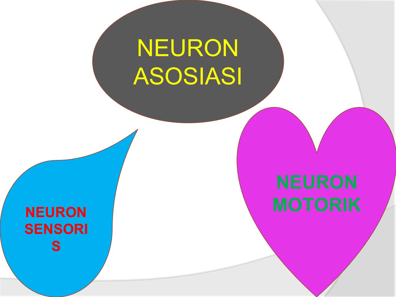 NEURON ASOSIASI NEURON MOTORIK NEURON SENSORIS