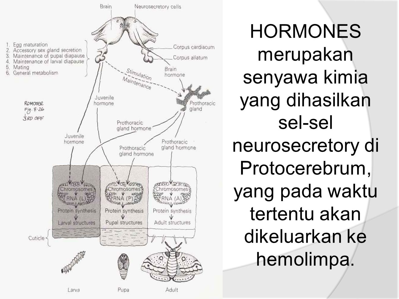 HORMONES merupakan senyawa kimia yang dihasilkan sel-sel neurosecretory di Protocerebrum, yang pada waktu tertentu akan dikeluarkan ke hemolimpa.