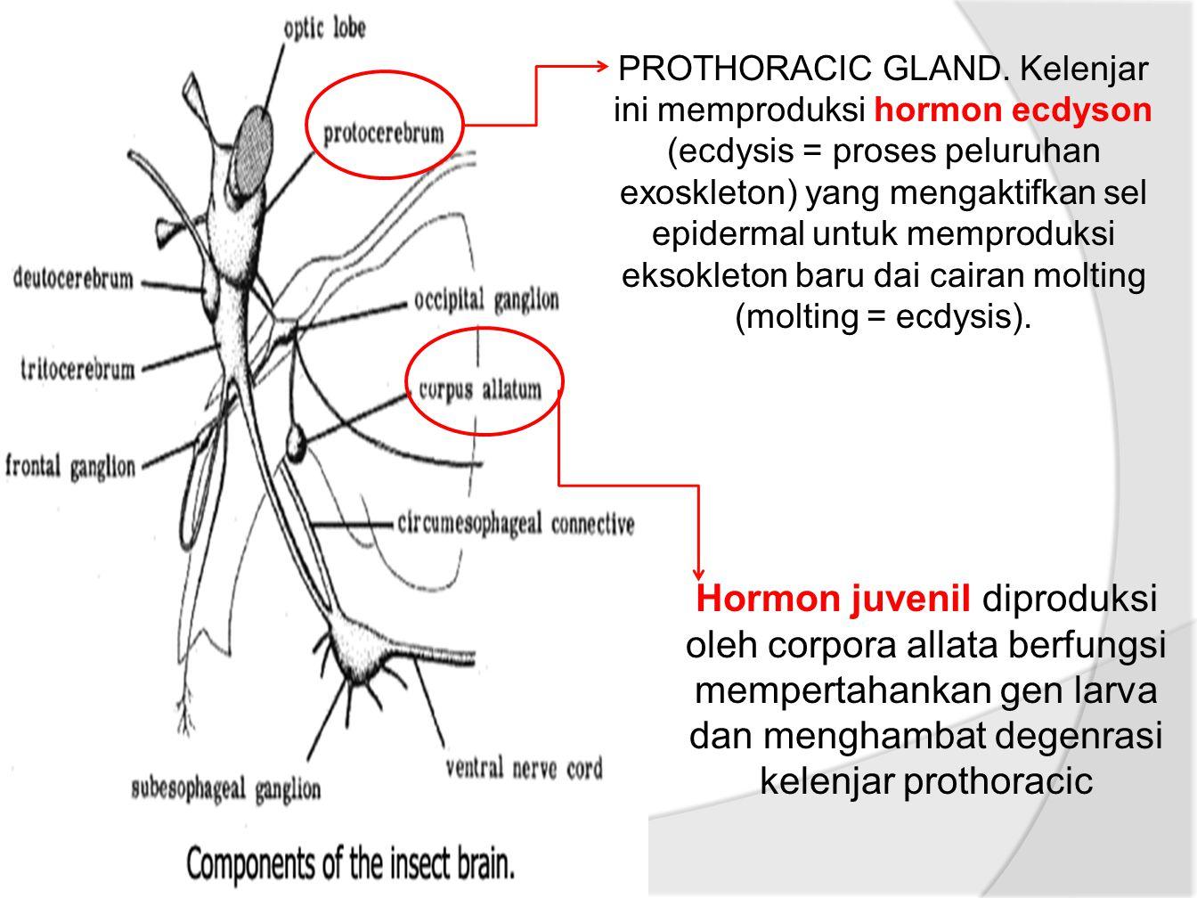 PROTHORACIC GLAND. Kelenjar ini memproduksi hormon ecdyson (ecdysis = proses peluruhan exoskleton) yang mengaktifkan sel epidermal untuk memproduksi eksokleton baru dai cairan molting (molting = ecdysis).