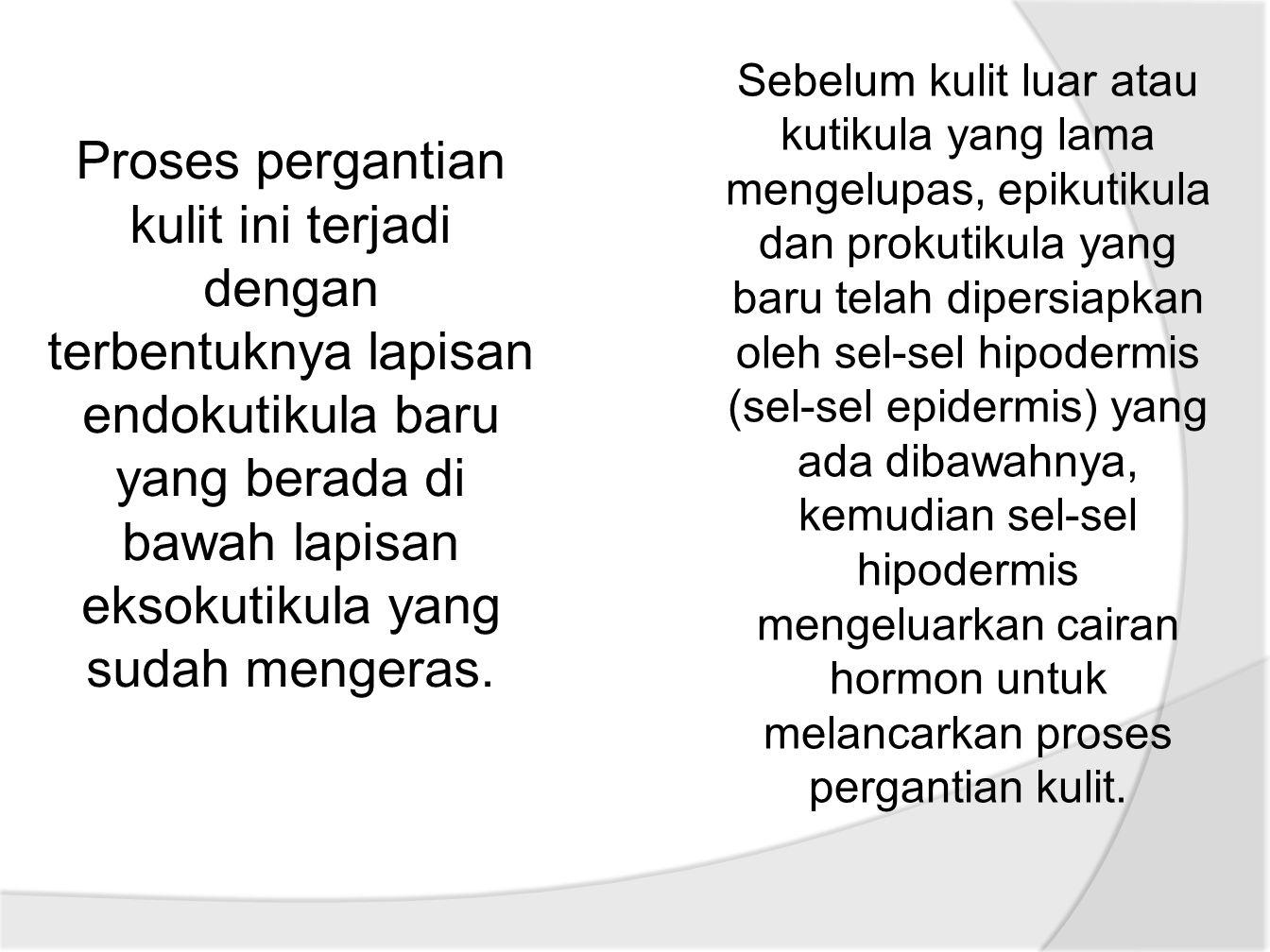 Sebelum kulit luar atau kutikula yang lama mengelupas, epikutikula dan prokutikula yang baru telah dipersiapkan oleh sel-sel hipodermis (sel-sel epidermis) yang ada dibawahnya, kemudian sel-sel hipodermis mengeluarkan cairan hormon untuk melancarkan proses pergantian kulit.