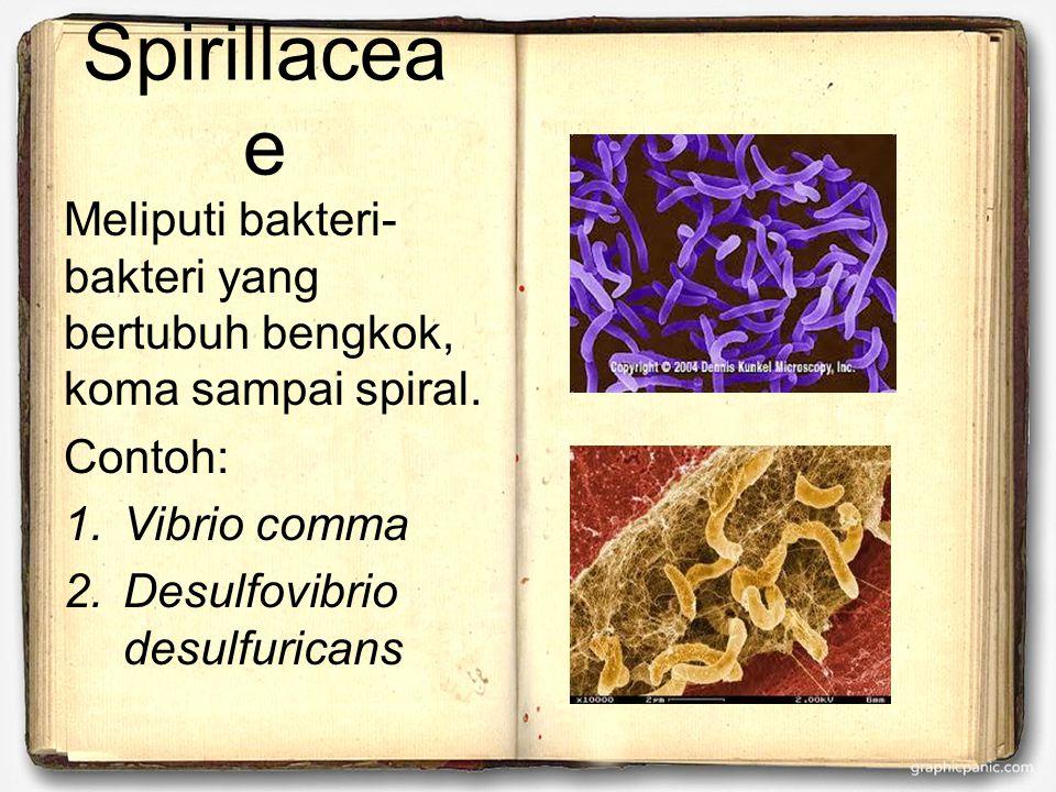 Spirillaceae Meliputi bakteri-bakteri yang bertubuh bengkok, koma sampai spiral. Contoh: Vibrio comma.