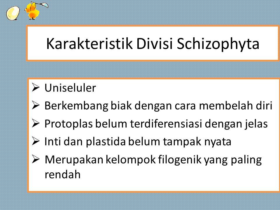 Karakteristik Divisi Schizophyta